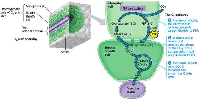 Leaf Anatomy Of C3 And C4 Plants Pdf Zoshwiki