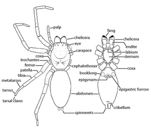 Spider Anatomy  Spiders: Biology and Biodiversity