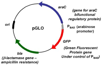 Map of the pGLO plasmid.