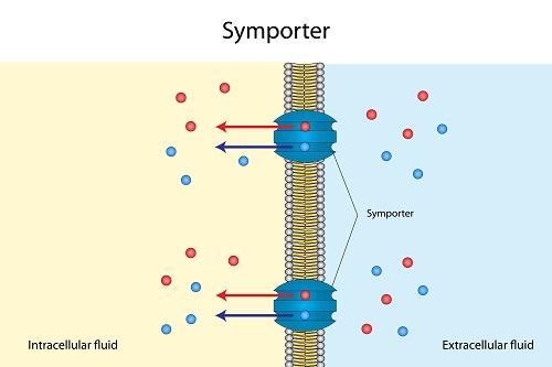 Bomba Sympoter como ejemplo de transporte activo