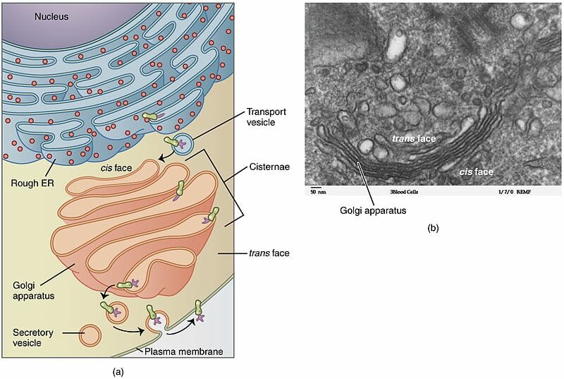 Aparato de Golgi formando vesícula