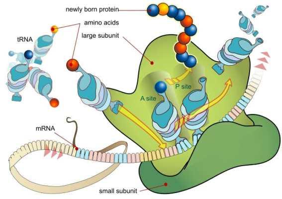 Traducción de ARNm de ribosoma