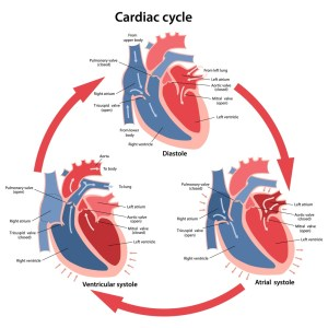 Cardiac Cycle  Definition and Phases | Biology Dictionary