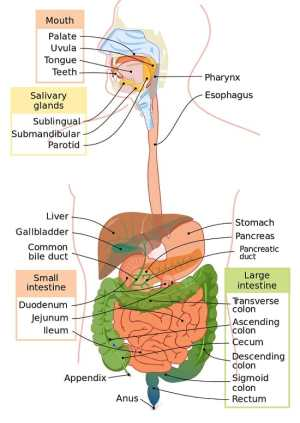 Digestive System  Definition, Function and Organs
