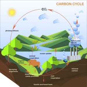 Carbon Cycle  Definition, Steps and Examples | Biology