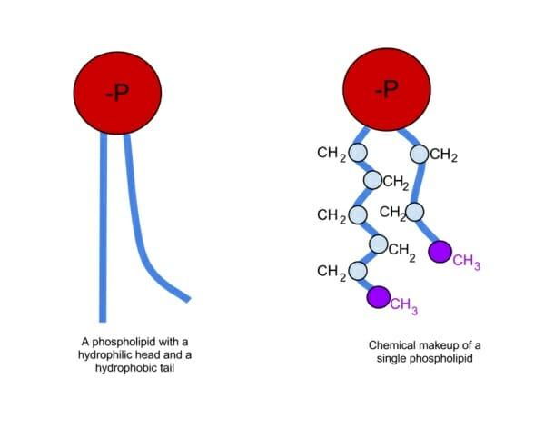 Composición química de fosfolípidos