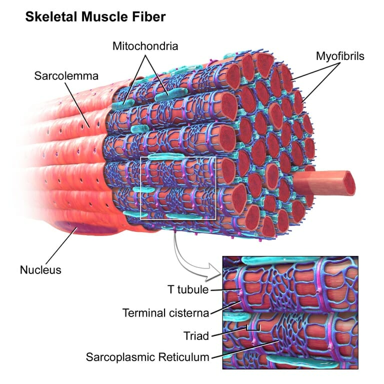Sarcomere - Definition, Structure, Function and Quiz ...