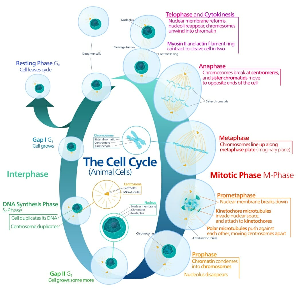 How Does Cell Division Solve The Problem Of Increasing
