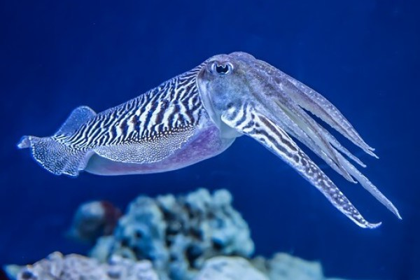 Cuttlefish - Facts and Beyind | Biology Dictionary