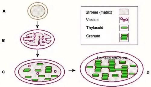 image of development of chloroplast
