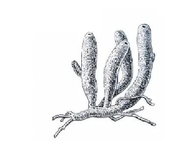 image of Leucosolenia