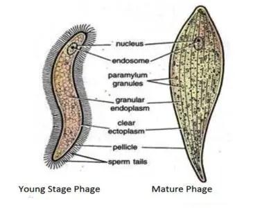image of Monocystis