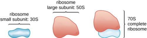 image of ribosome subunits