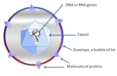 image of Virus Structure