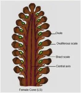 Image of Female cone of Pinus (LS)