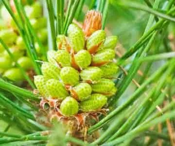 image of Pinus