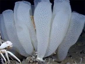 image of Euplectella aspergillum