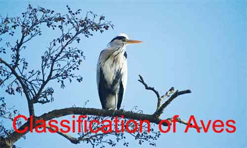 image of Classification of Aves
