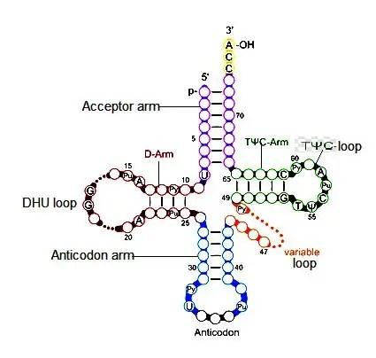 image of Clover leaf model of tRNA