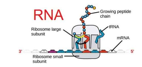 image of RNA