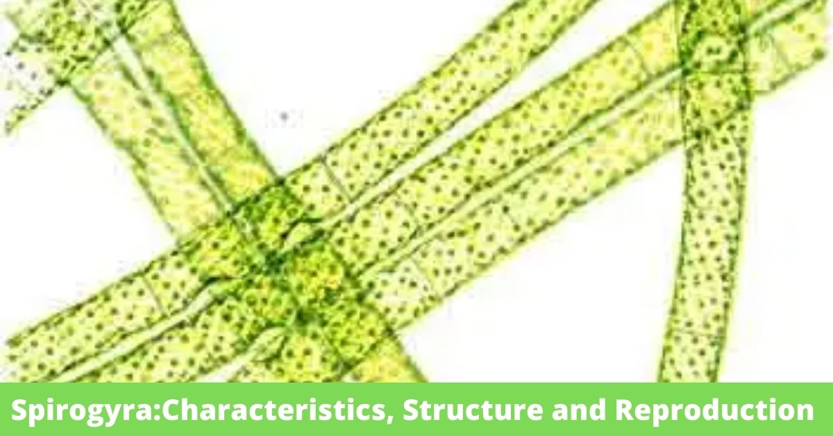 SpirogyraCharacteristics, Structure and Reproduction