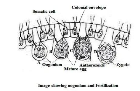 image of Oogonium and Fertilization