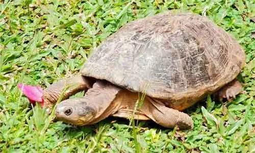 image of African-helmeted-turtle-(Pe