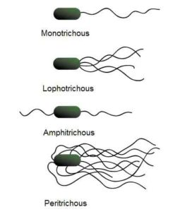 image of Bacteria based on flagellum
