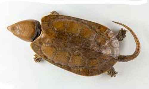 image of Big-headed-turtle-(Platyste