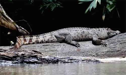 image of Crocodylus siamensis