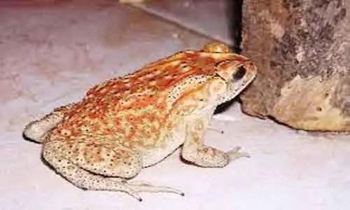 image of Duttaphrynus melanostictus