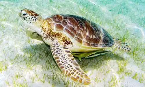 image of Green-sea-turtle-(Chelonia-