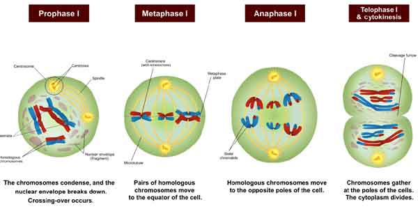 image of Meiosis-I