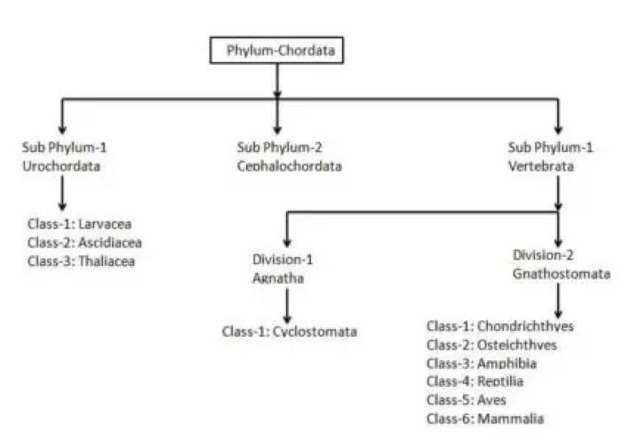 image of Phylum Chordata Classification