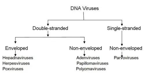 Image of DNA Viruses