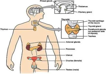 image of Endocrine glands