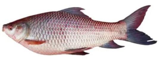 image of Labeo rohita