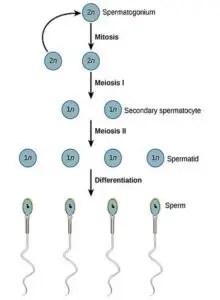 image of Spermatogenesis