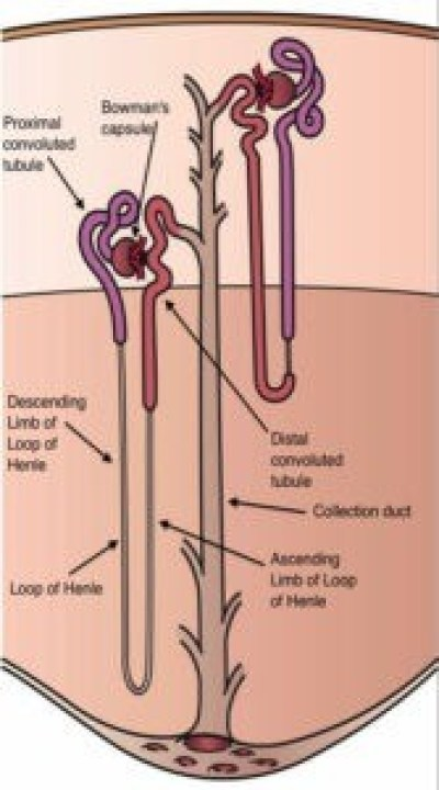 image of Nephrons