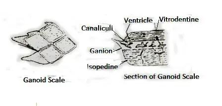 image of ganoid scale