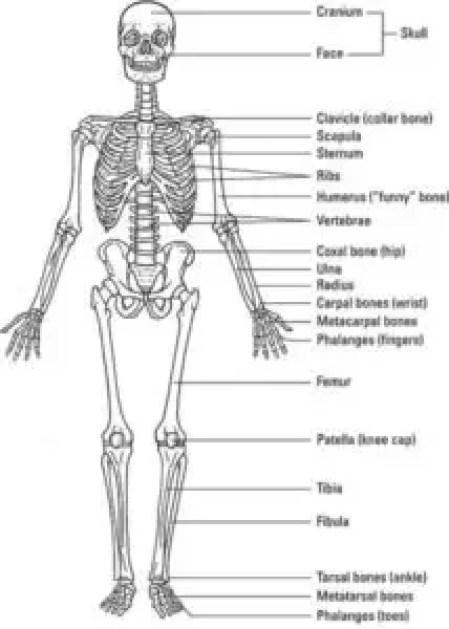 image of Skeleton of Human