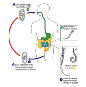 Image of Life cycle of Enterobius vermicularis