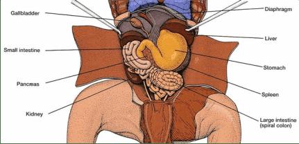 Lab 1: Digestive System  Fetal Pig Dissection