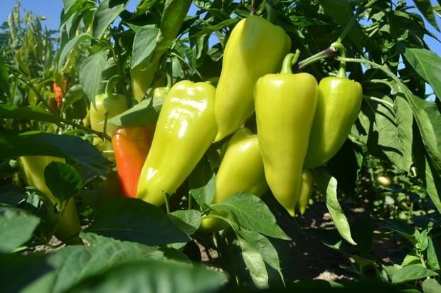 Papriku u bašti