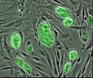 Mouse embryonic stem cells with fluorescent marker