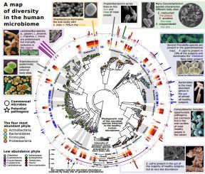 MapOfDiversityInTheHumanMicrobiome_HighResolnAttachmetGmailedAug18_2014Download_HarvardThe Huttenhower LabMetaPhlAn Metagenomic