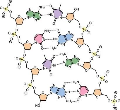 DNA z fosforem zastąpionym przez arsen