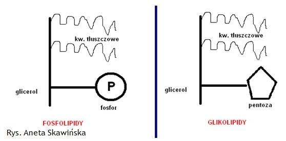 fosfolipidy_glikolipidy