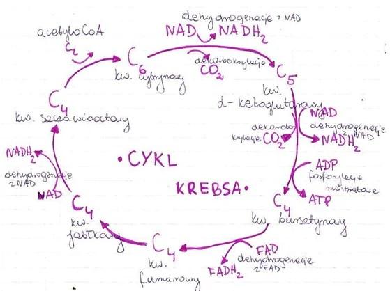 cykl_krebsa_II