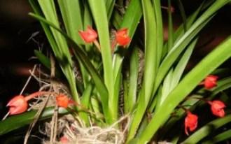 01 Maxillaria coccinea poprawka